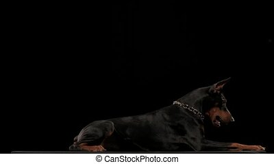 Doberman Pinscher in a stylish collar in the form of a chain plays in the studio on a black background with a blue toy ball. The dog lies and chews hard on its toy in slow motion. Close up