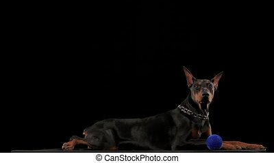 Doberman Pinscher lies and wiggles its triangular ears in a funny way. Next to the dog is her toy blue ball. The pet is isolated on a black background in slow motion. Close up