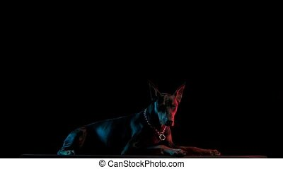 Doberman Pinscher lies in the studio on a black background in red and blue light. A tired dog falls asleep in slow motion. Close up