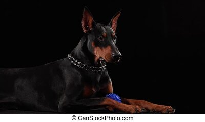 Doberman pinscher lies in the studio on a black background. The dog has a blue toy ball between its paws, which it grabs with its teeth. Close up