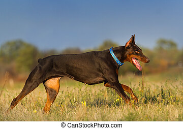 Doberman run outdoor