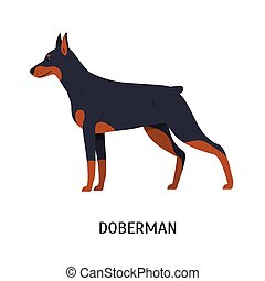 Dobermann or Doberman Pinscher. Stunning short-haired purebred dog isolated on white background. Adorable domestic animal or pet of guardian breed. Colorful vector illustration in flat cartoon style.