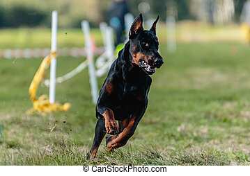 Doberman Pinscher running in the green field on lure coursing competition