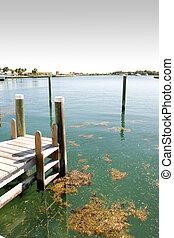 dock weed