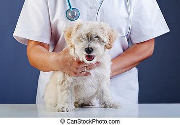 docteur, être, vétérinaire, chien, examiné, petit
