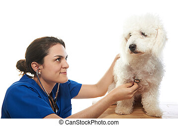 doctor checking french poodle