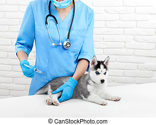 Doctor doing injection by prick for puppy with gray fur.