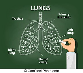 Doctor draws with chalk the anatomy of human lungs