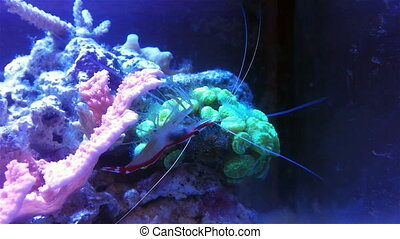 Doctor shrimp on a coral reef