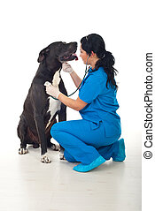 Doctor vet checkup great dane dog - Doctor checkup with...