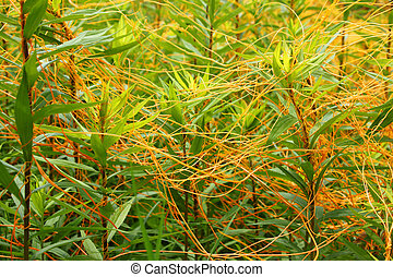 Dodder Illinois Prairie Plant - Dodder is a parasitic plant...
