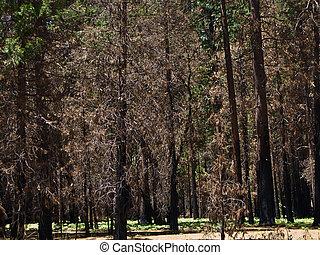 dode bomen, schuldig, om te, een, vroegere, bosbrand, in, yosemite park