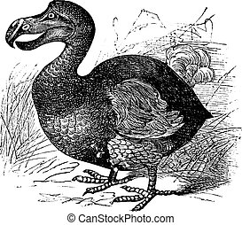 Dodo or Raphus cucullatus, vintage engraving. Old engraved illustration of a Dodo.