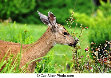 Doe, a Deer - Young female deer eating plants in a garden