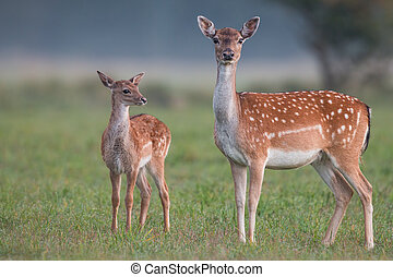 Doe and fawn fallow deer, dama dama, in autumn colors. Detailed image of two wild animals with blurred background. Wildlife scenery with cute mammals watching. Family concept.