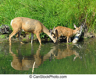 doe and fawn - mule doe with young fawn at water's edge