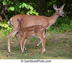 Doe and Fawn - Whitetail deer doe with its fawn in spots