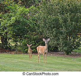 Doe and Fawn - Young Doe and Fawn in a clearing.