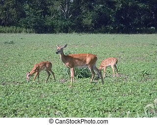 Doe and Fawns in a Field - A doe and her fawns feeding in a...