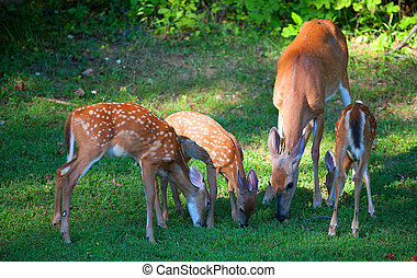 Doe and fawns - Whitetail deer and her fawns eating near ...