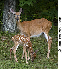 Doe and offspring - Whitetail doe that is standing guard ...