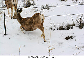 Doe Crawling Under Barbed Wire in Snow