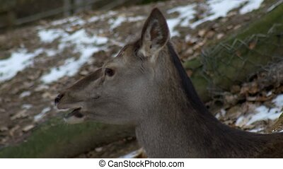 doe european chews food thoroughly, close-up, winter nature,...