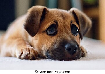 Doe eyes - Puppy with exagerated sad eyes.