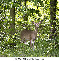 doe in the forest