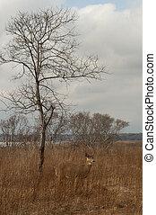 Doe in winter field - Lovely fawn-colored deer grazing in a...