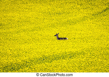 Doe in yellow rapeseed field