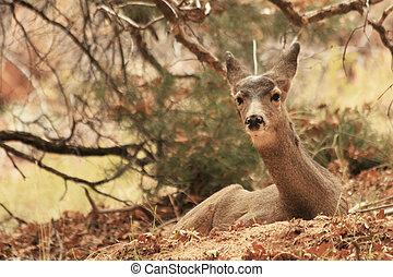 Doe Mule Deer - View of doe Mule Deer in its natural habitat...