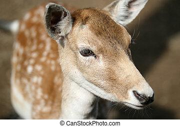 Doe - details of a doe, female of the fallow deer