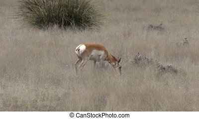 Doe Pronghorn Antelope - a doe pronghorn antelope on the...