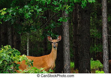 Doe Watching Photographer! - Beautiful Doe Watching ...