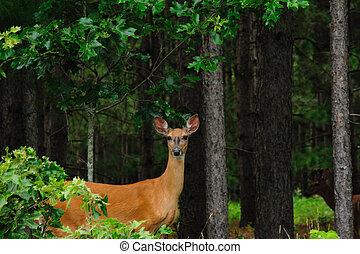 Doe Watching Photographer! - Beautiful Doe Watching...