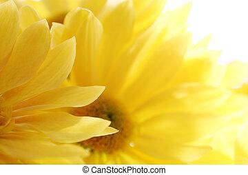 dof., bouquet, hen, lav, baggrund., solsikker, hvid, close-up