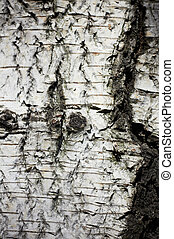 dof., raso, textura, árvore., vidoeiro, ladrar