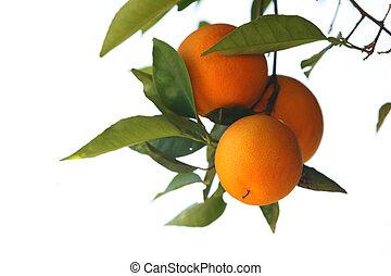 dof., sekély, fa, elszigetelt, narancsfák, háttér., elágazik, friss, fehér