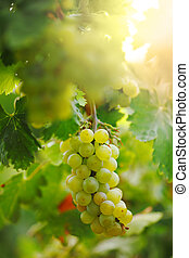 dof., vid, superficial, vineyard., uvas, ramo