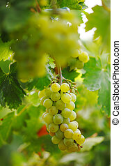 dof., vinranka, ytlig, vineyard., druvor, bukett