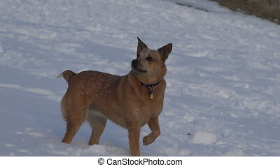 Dog Actor Posing Then Running Towar - An acting dog that is...