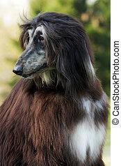 Dog Afghan Hound - beautiful Afghan hound dog in summer...