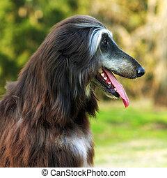 Dog Afghan Hound - beautiful Afghan hound dog portrait in...