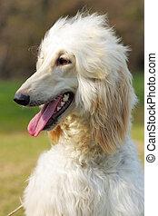 Dog Afghan Hound - beautiful fawn Afghan hound dog in summer...