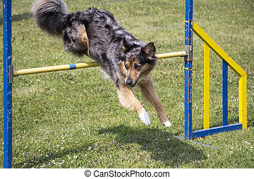Dog Agility jumping over a hurdle during an agility...