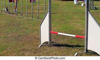 dog agility, weave poles