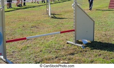 dog agility, weave poles - dog in action in agility...