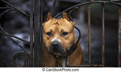 dog - American Staffordshire terrier