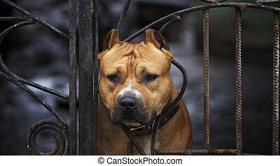 dog - American Staffordshire terrier
